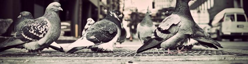 Control de aves urbanas